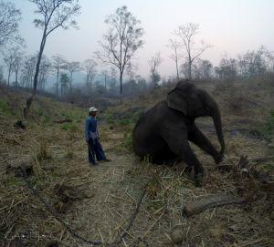 Smutniejsza strona wolontariatu - na noc zakłada się słoniom 20-metrowy łańcuch...