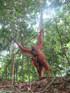 Flattynose - pierwszy orangutan widziany z bliska!