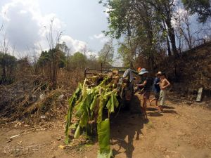 Pick-up załadowany drzewami bananowców