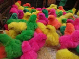 Kolorowe kurczaczki na ptasim parku pod Yogjakartą