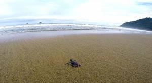 Mały żółwik pędzi do wielkiej wody!