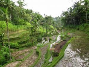 Piękne pola ryżowe w okolicy Ubud