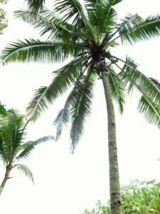 Pan zrywa specjalnie dla nas kokosa!