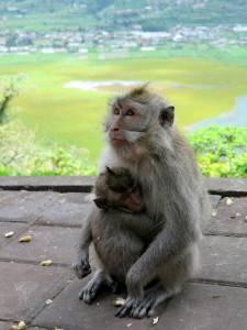 Słodziaki! (małpki w Indonezji są wszędzie)