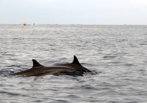 Delfinki koło miejscowości Lovina!