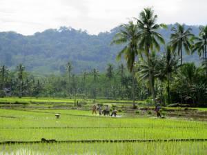Wszechobecne pola ryżowe