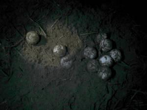 Niewielka część żółwich jajek