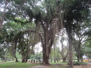 Tajemnicze drzewo z lianami