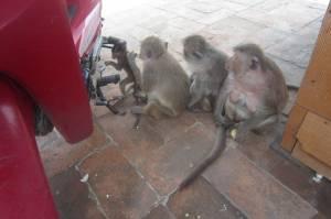 Małpia rodzinka na ulicach miasta Lop Buri