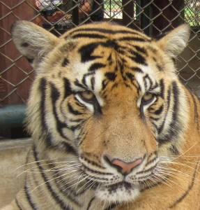 Oko w oko z tygrysem!