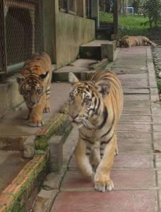 5-10 miesięczne tygrysy są już całkiem spore!