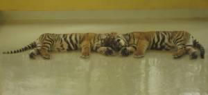 Dla takich widoków warto odwiedzić Tiger Kingdom!