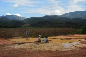 Zbiór kukurydzy w Muang Sing