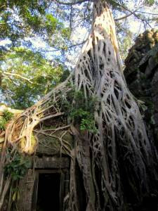 """Słynne drzewo z filmu """"Tomb Raider"""""""