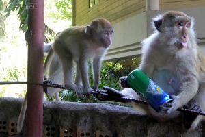 Małpki w drodze na Railay West