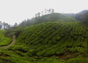 Wszechobecne plantacje herbaty!