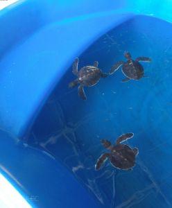 Malutkie żółwiki na Turtle Beach