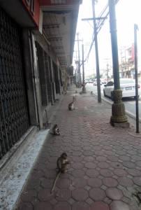 Małpki na ulicach miasta Lop Buri
