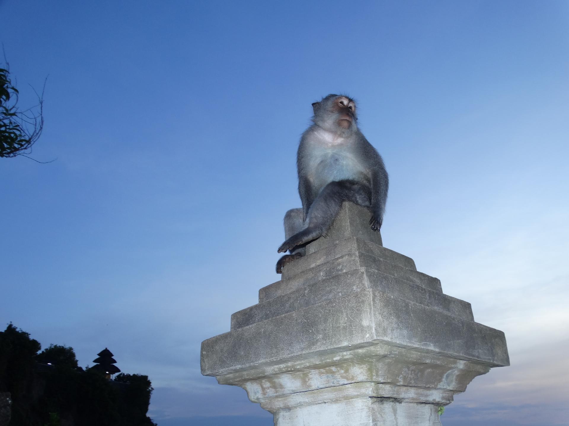 malpi-zywy-pomnik-na-uluwatu-bali