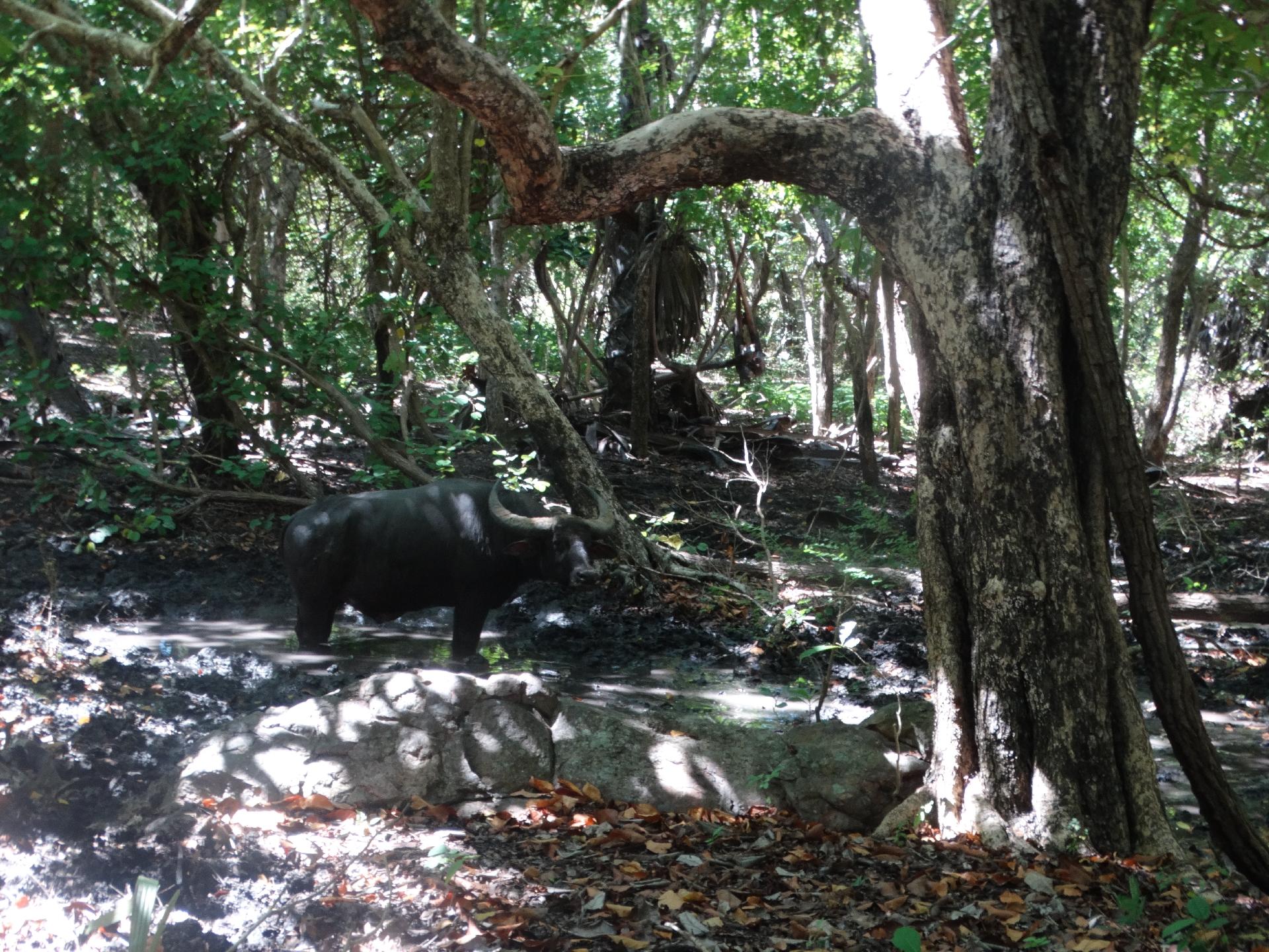 Dziki bawół (Rinca)