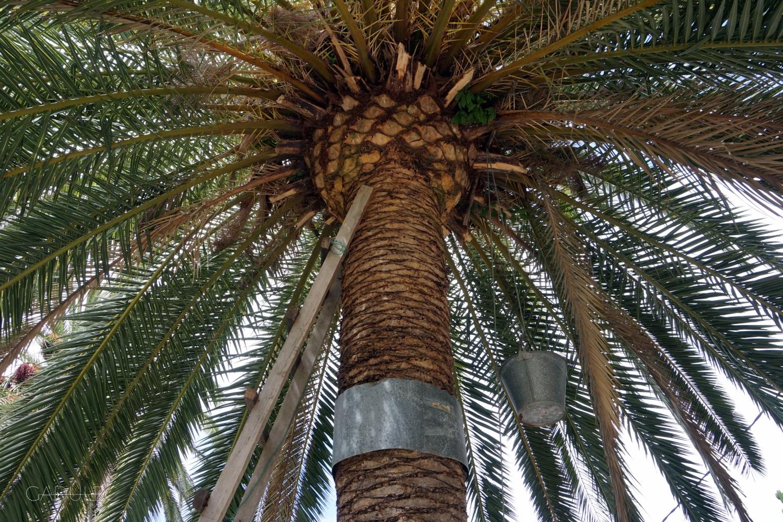 Tak się zbiera syrop palmowy