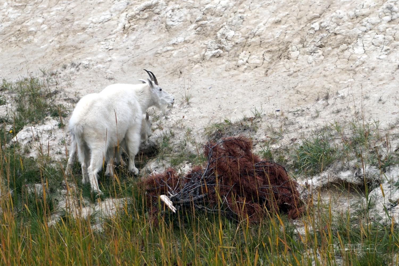 Dzikie kozy tuż przy drodze
