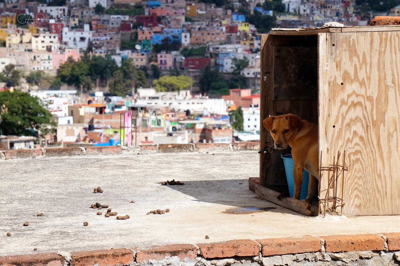 Guanajuato-pies-na-dachu