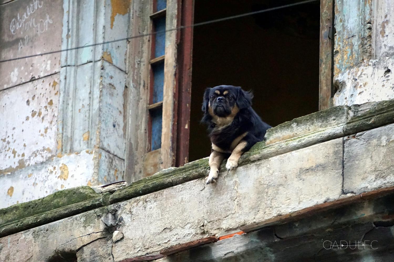 Kuba-pies