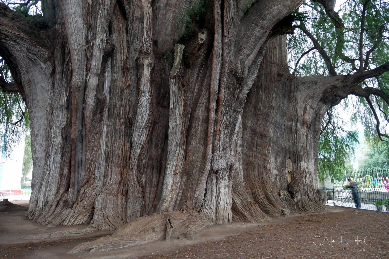 Jedno z największych drzew świata! Ma 1500-3000 lat (naukowcy nie potrafią określić dokładnego wieku drzewa w Tule)