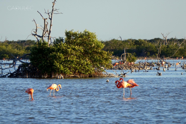 progreso-flamingi
