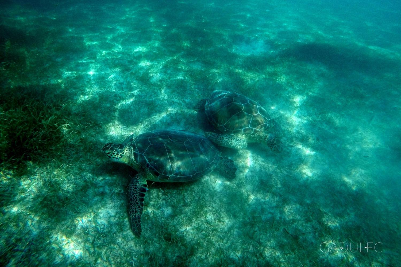 Żółwie przy plaży Akumal