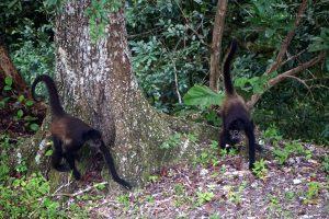 Małpy pajęcze