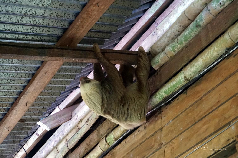 Leniwiec w hostelu