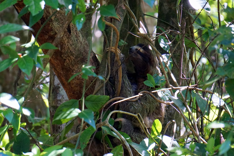 cahuita-leniwiec