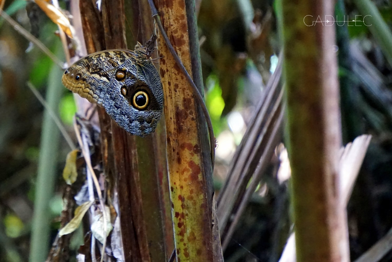 motyl-kostaryka-cahuita-min