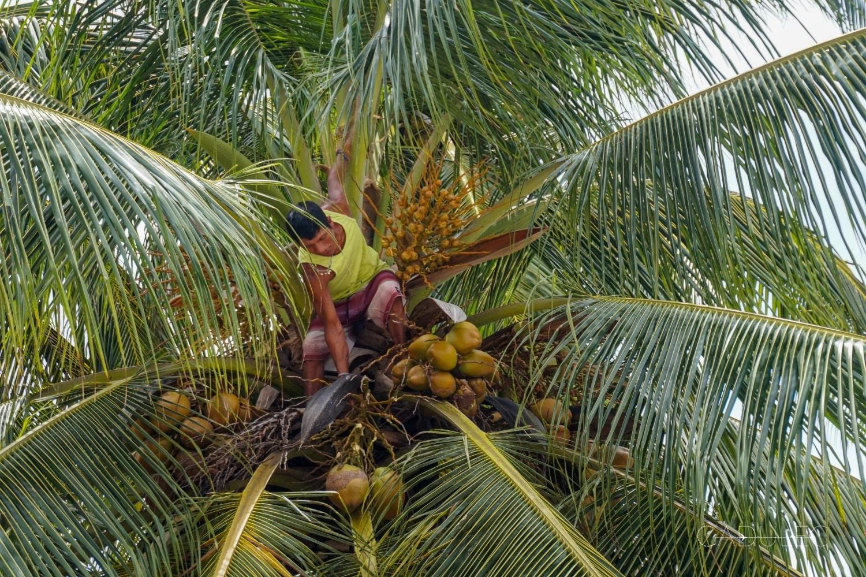 Kokos prosto z drzewa? Już się robi!