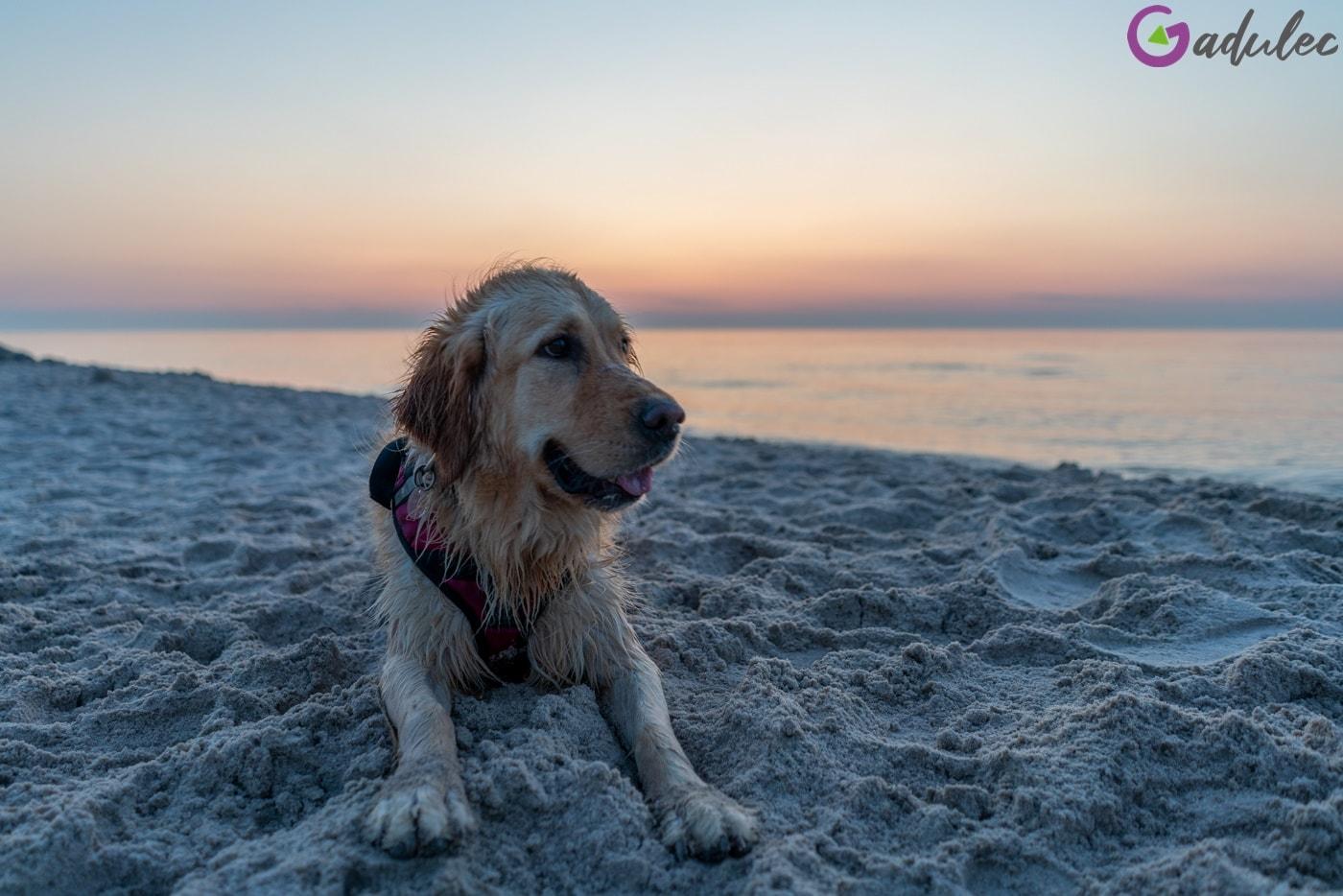 Pies na plaży w Karwi