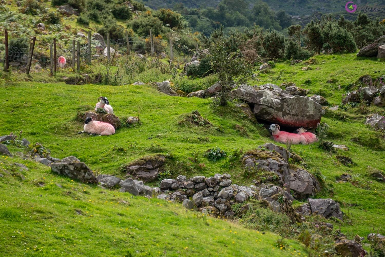 Owce na przełęczy Dunloe