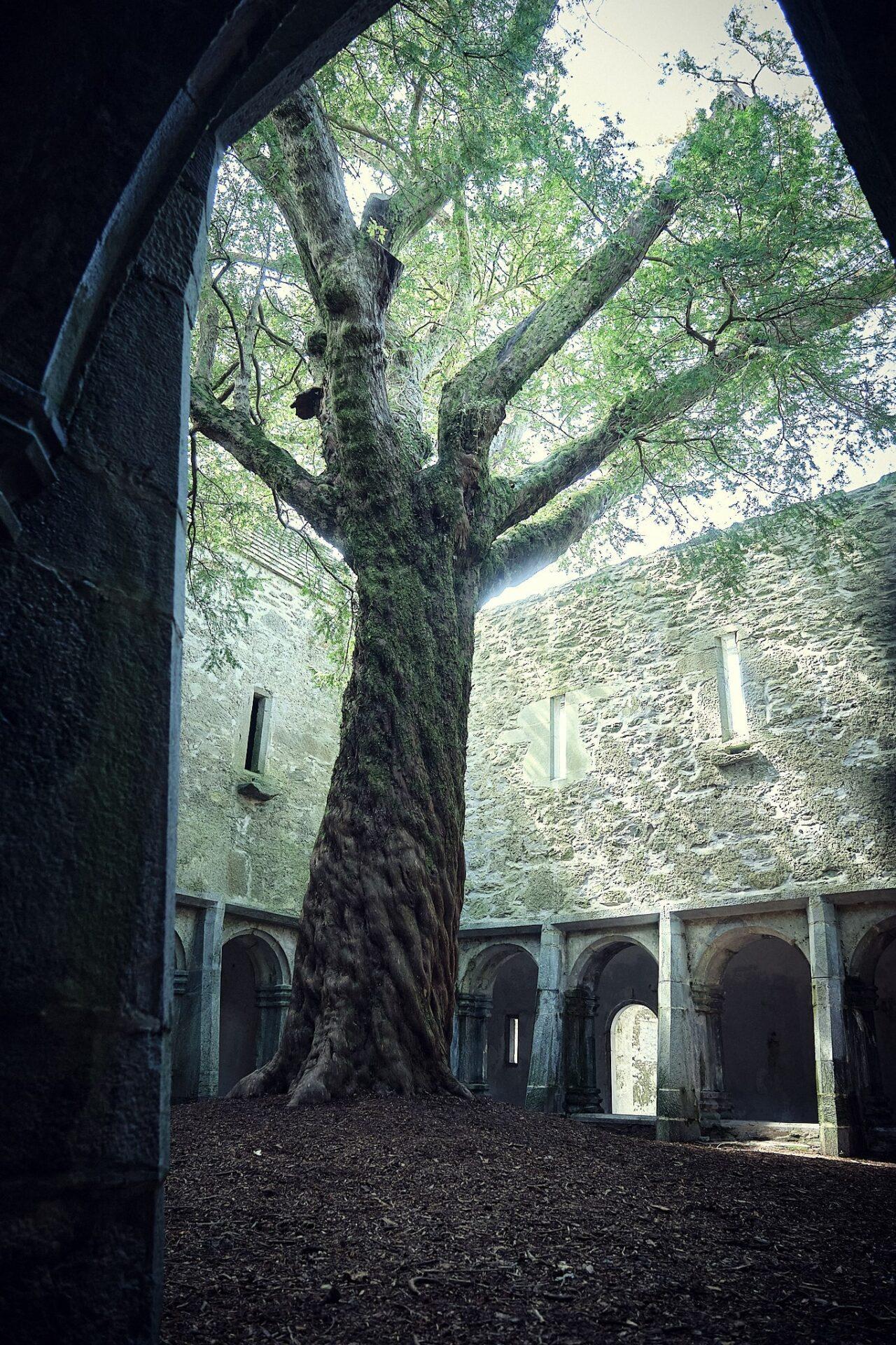 Drzewo na dziedzińcu Muckross Abbey